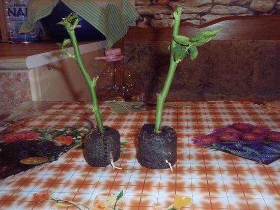 Как прорастить розу в домашних условиях от черенками